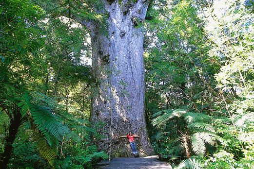 カウリ巨木の樹齢は1500年を超える/イメージ
